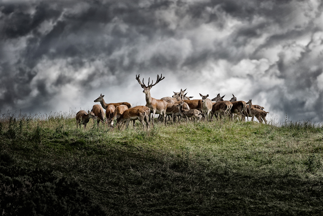 wild red deer, tim wallace commercial photographer, stock photography, commercial photography, tim wallace